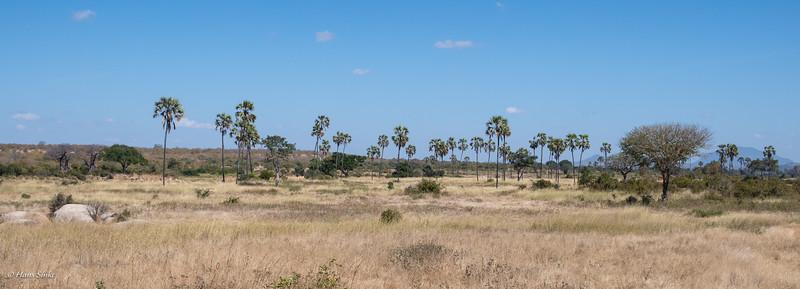 Palms along the Mwagusi River