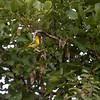 Crithagra mozambica