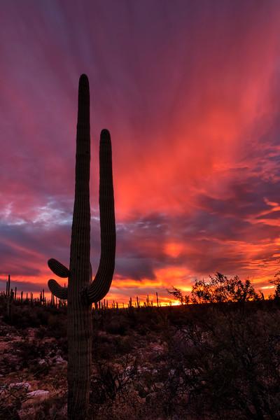 Lone Saguaro Flaming Sky