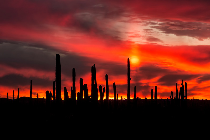 Silhouetted Cacti Fiery Sunset