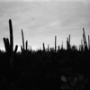 Cactus Field 2 From Scratched Negative - Saguaro State Park, Tucson, Arizona