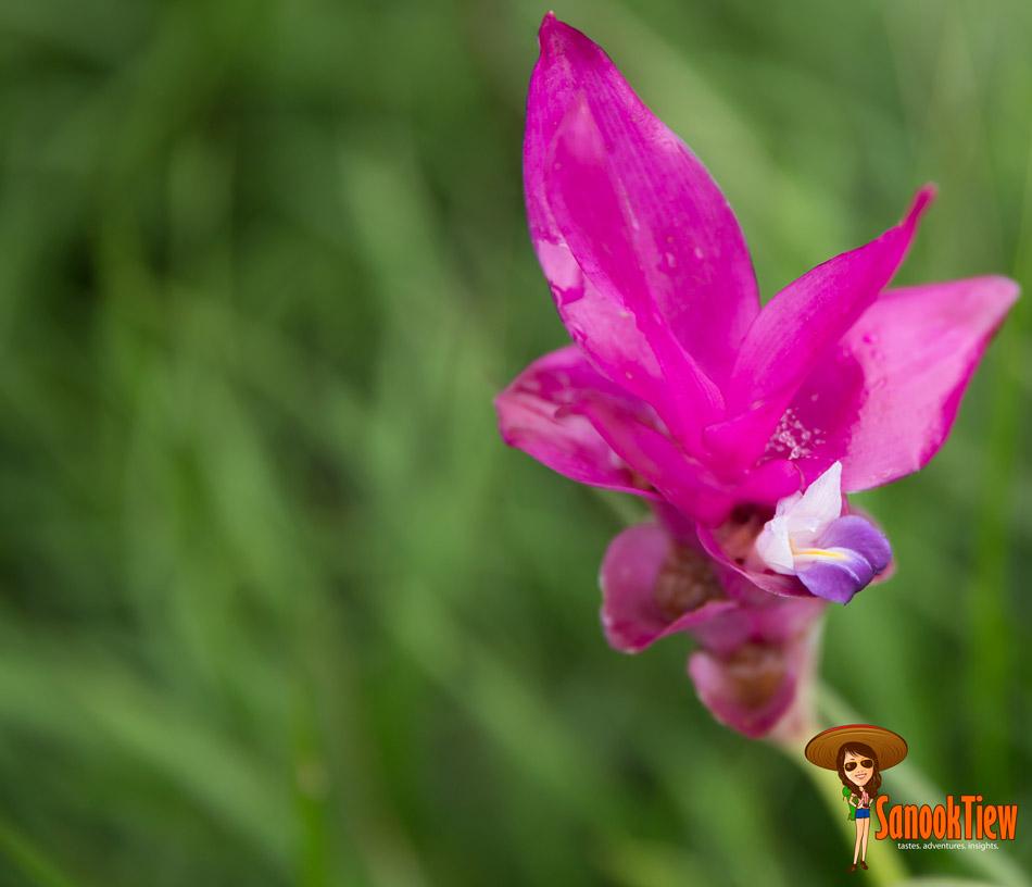 ดอกกระเจียว อุทยานแห่งชาติไทรทอง