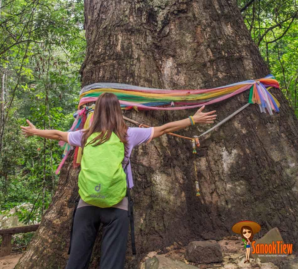 ต้นไม้พันปี อุทยานแห่งชาติไทรทอง ชัยภูมิ
