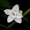 ดอกกระเจียวขาว