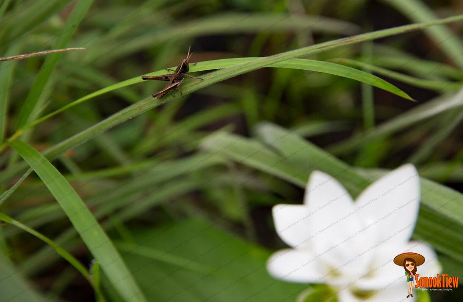 ดอกกระเจียวขาว อุทยานแห่งชาติไทรทอง ชัยภูมิ