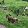The soay sheep tame here but the flock mainly wild. A primitive breed miraculously survived on Soay