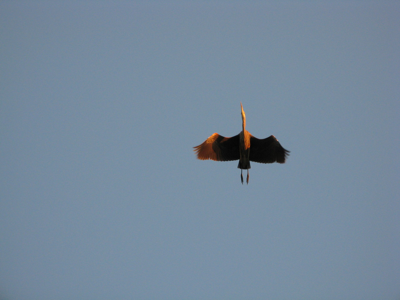 The heron is flying almost directly above us.