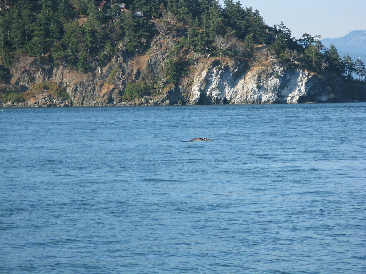 On our first day, we saw porpoises in Fidalgo Bay.  We are too far away to tell why kind of porpoise these are, but Doll's porpoises are common in the Puget Sound.