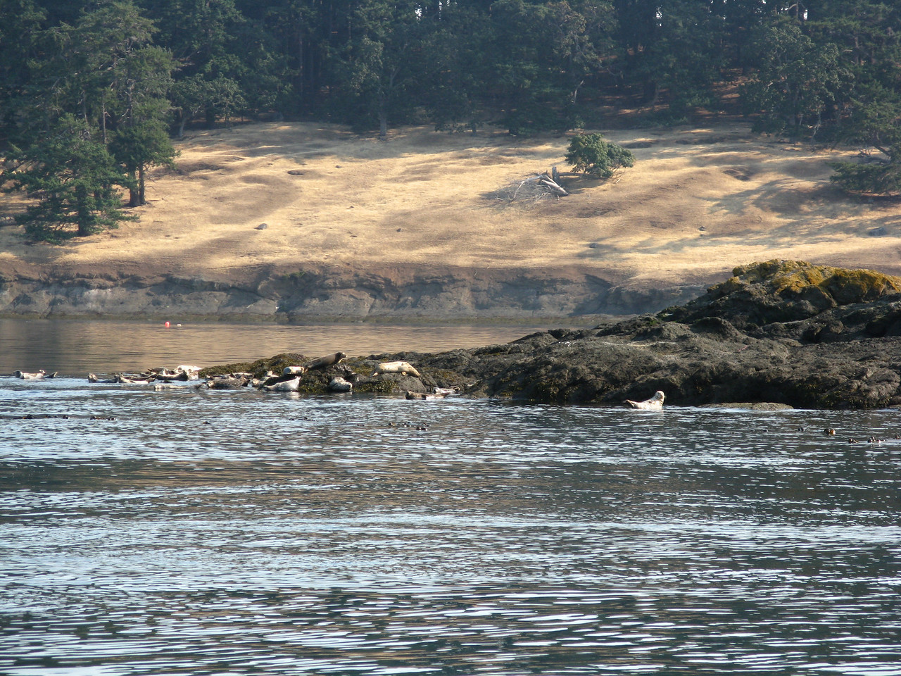 On Thursday morning, we motored past the western end of Speiden island.  This rock is a a hang out for sea lions.
