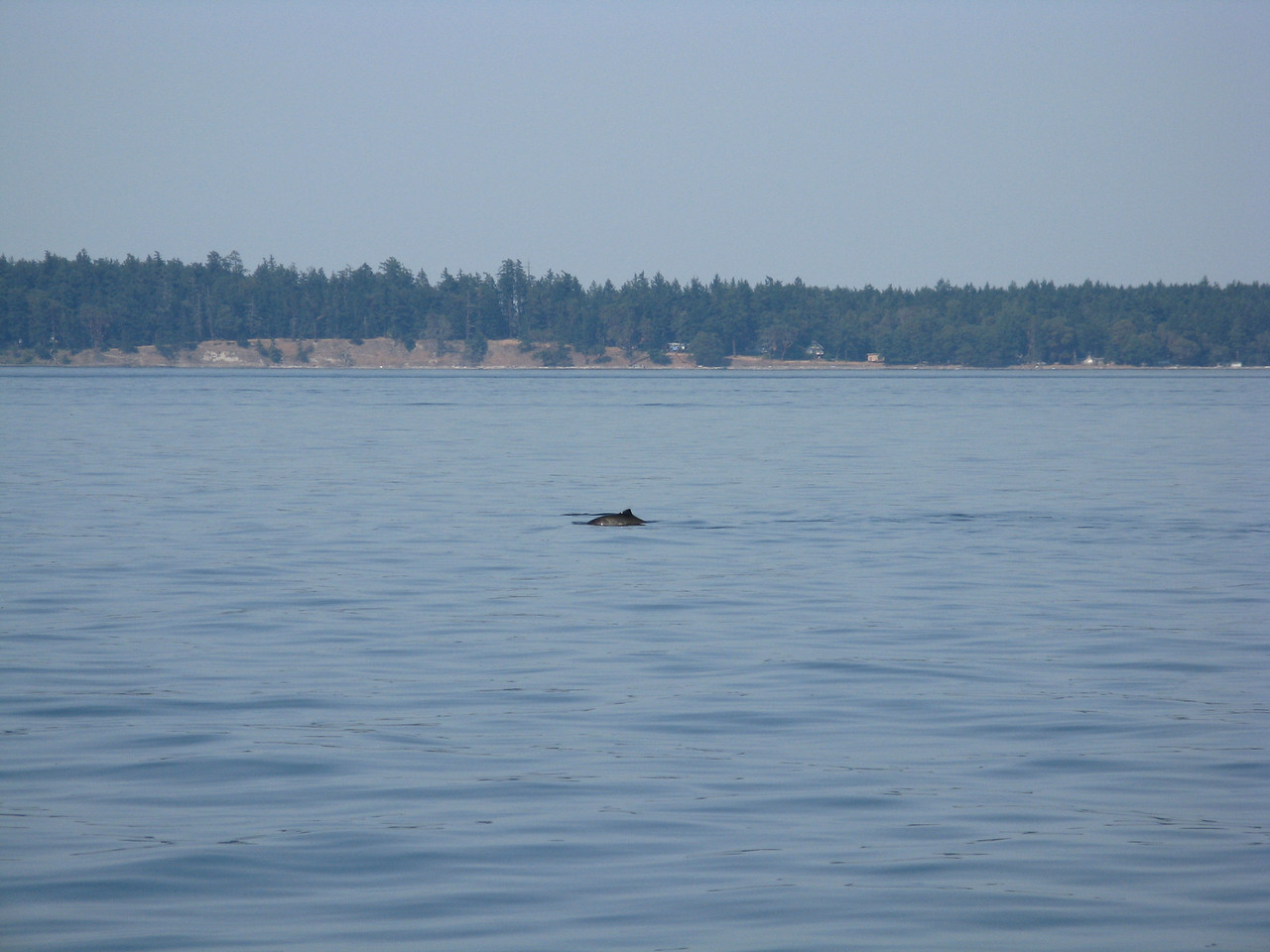 On the way back from Stuart Island, we saw porpoises.  These are probably Dall's porpoises.