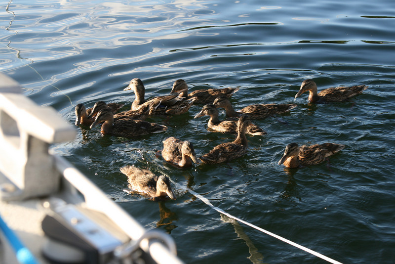 A crowd of ducklings showed up!