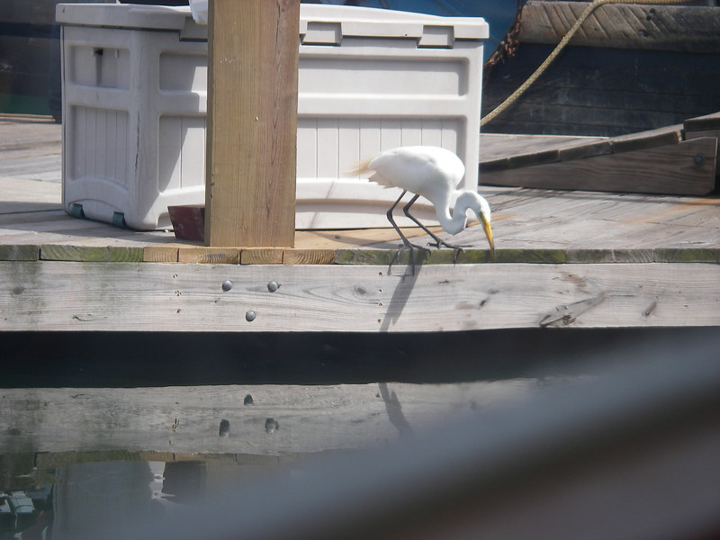 Egret fishing for minnows at Wickford Shipyard.  Late June, 2012.  Photo: Shemaya Laurel