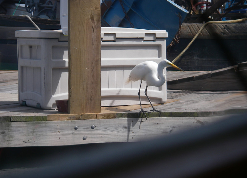 Egret at Wickford Shipyard, RI.  Photo: Shemaya Laurel