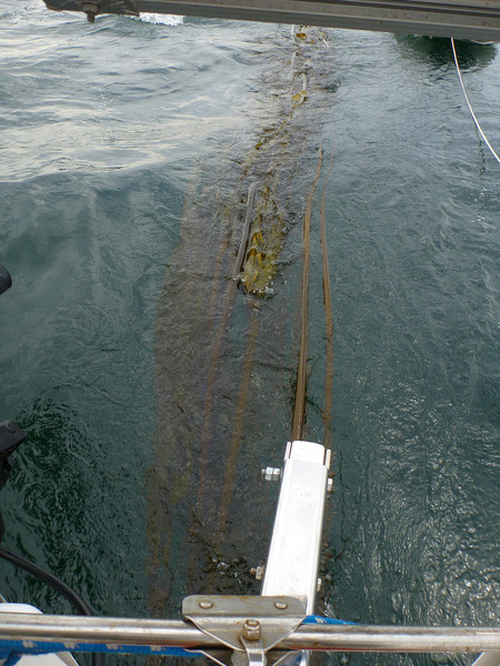 Kelp seems to have a magnetic attraction to our rudder.  We've had trains up to 30' long.  It really confuses the steering.