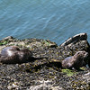Otters in Echo Bay