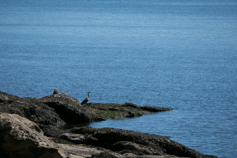 Heron on Echo Bay