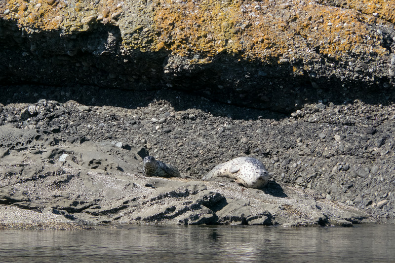 Seal pup and adult, Cactus Island