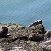 Otters in Echo Bay
