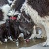 Landseer Newfoundland Dogs