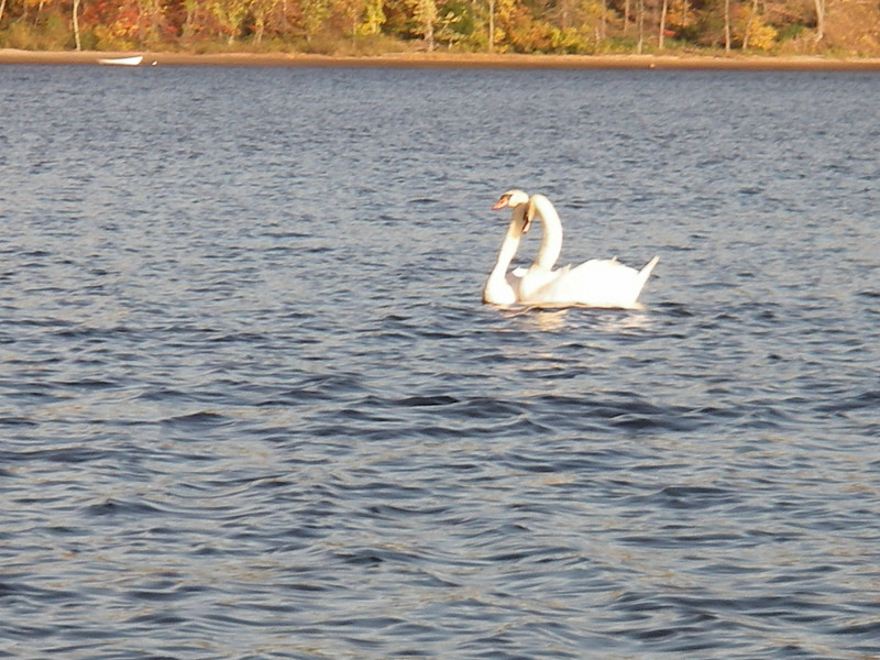 Swans, Connecticut River