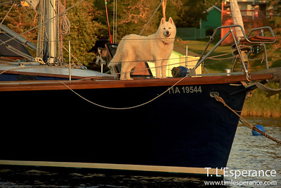 Gorgeous white Husky guarding their masters vessel at the mooring, Hubbard's Cove, NS.