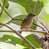 Black Finch - female
