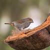 Lesser Antillian Bull Finch - female