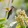 Lesser Antillian Humming Bird - female