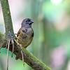 Black Finch - imature female