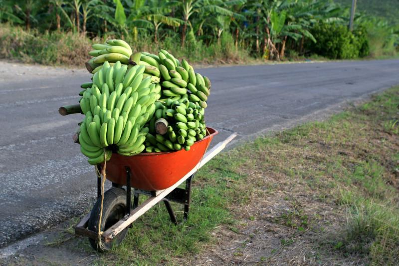 Fresh Bananas, Saint Lucia, Windward Islands, Caribbean Sea