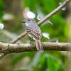 Lesser Antillian Flycatcher