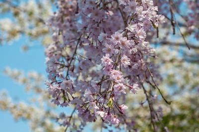 Sakura at Imperial Palace