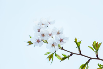 Sakura in Shinagawa