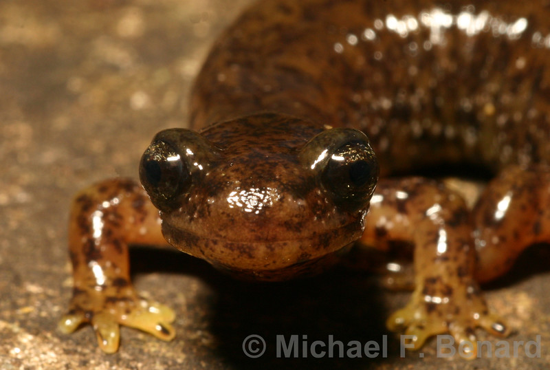 Southern Torrent Salamander