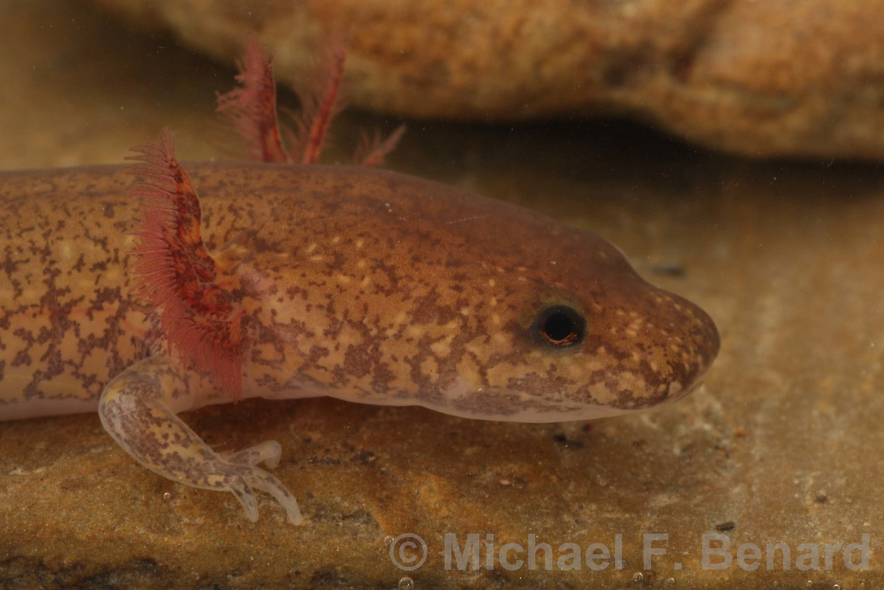 Spring Salamander Larva