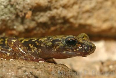 Green Salamander (Aneides aeneus)