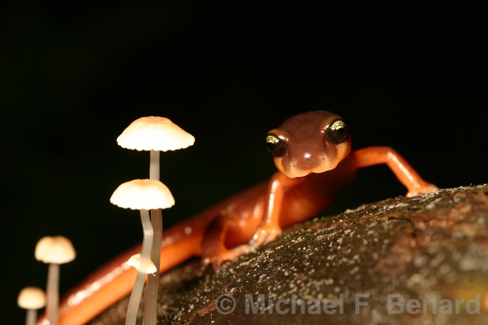 Ensatina Salamander near mushrooms