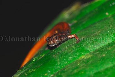 Pig-nosed Forest Salamander (Cryptotriton nasalis)