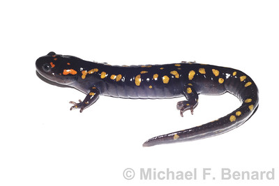 Spotted Salamander Whole Body White Background
