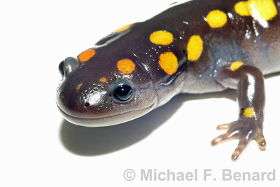 Salamander portrait head white background