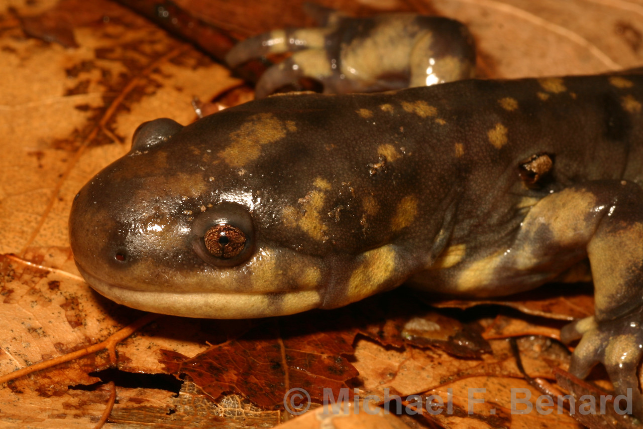 Adult Tiger Salamander