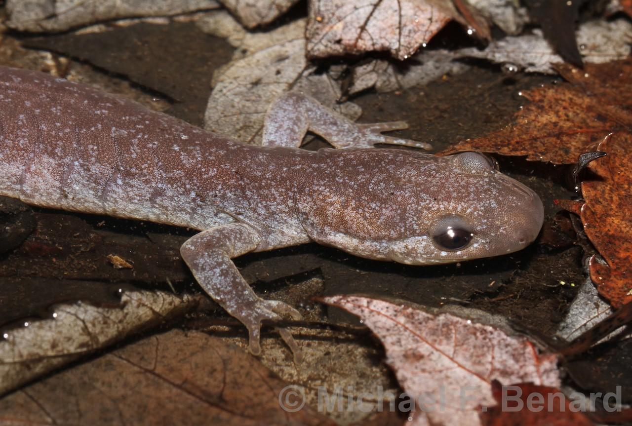Unisexual Ambystoma Salamander