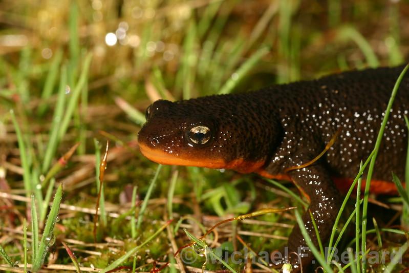 Roughskin Newt