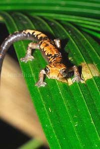 Conant's mushroom-tongue salamander (Bolitoglossa conanti)