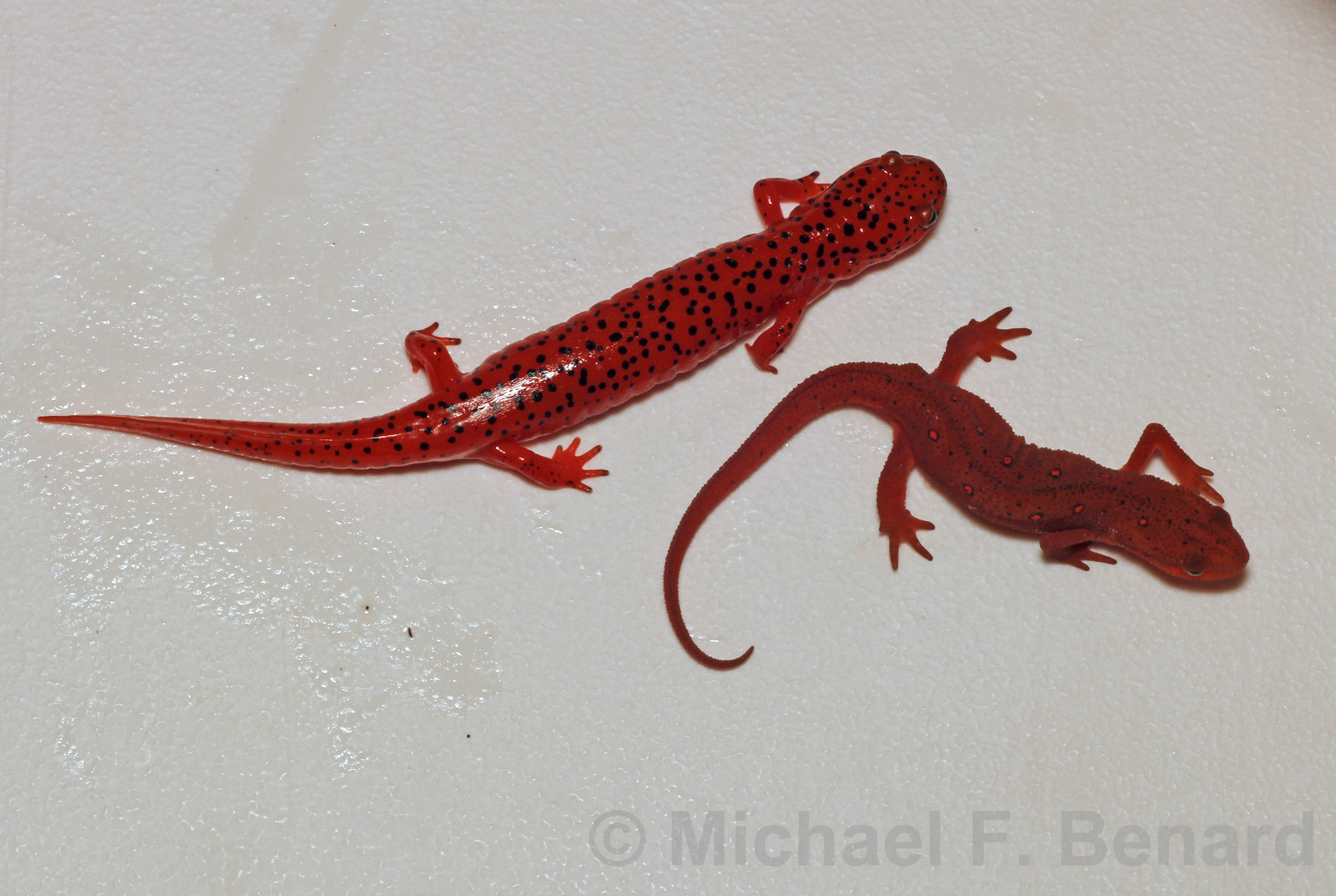 Red Salamander and Red Eft