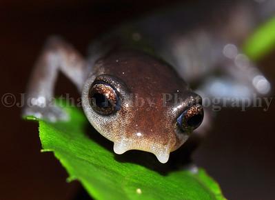 Endangered Dunn's mushroom-tongue salamander (Bolitoglossa diaphora)