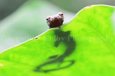 Mexican Climbing Salamander (Bolitoglossa mexicana)