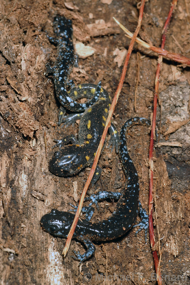 Juvenile Spotted and Blue-Spotted Salamanders