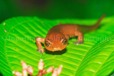 Dunn's mushroom-tongue salamander (Bolitoglossa dunni)