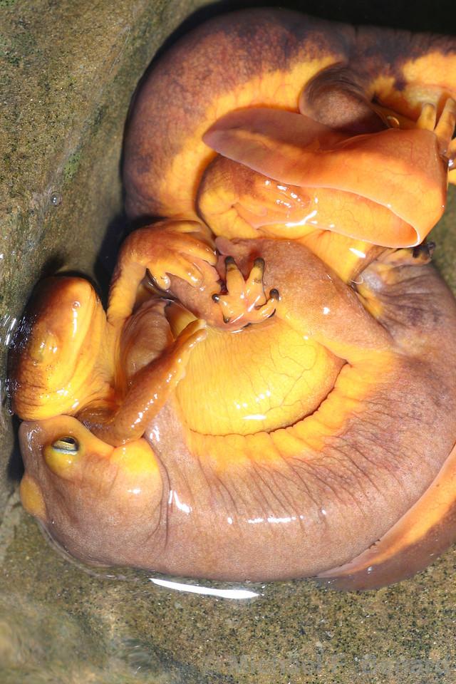 California newts matin